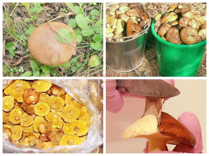 маслята маринованные с лимонной кислотой рецепты приготовления