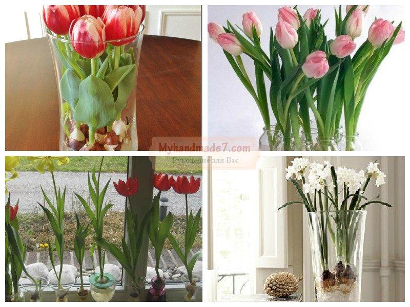 Тюльпаны в домашних условиях. Как вырастить